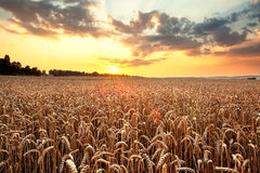 Ripening wheat and sunrise sky. As background Royalty Free Stock Image