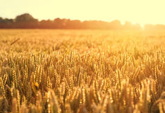 Ripening wheat and sunrise sky Stock Photo
