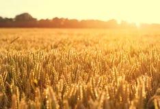 Ripening wheat and sunrise sky. As background Stock Photo