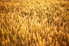 Ripening wheat and sunrise sky. As background Royalty Free Stock Photography