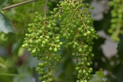 Ripening white grapes on vines Royalty Free Stock Images
