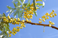 Ripening wild olive fruits Stock Image