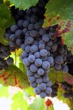 Ripening Wine Grapes. Ripening cluster of wine grapes surrounded by leaves Royalty Free Stock Images