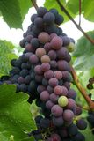 Ripening Wine Grapes. Wine grapes changing color during veraison Stock Photography