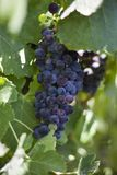 Ripening Wine Grapes on the Vine royalty free stock photography