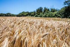 Ripening yellow barley field on summer blue sky for agroforestry Royalty Free Stock Photos