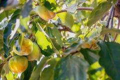 Ripening yellow kakis in green foliage Royalty Free Stock Photography