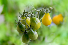 Ripening yellow pear tomatoes Stock Photo