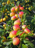 Ripening yellow plums  on garden  background Stock Photos
