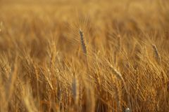Yellow rye field royalty free stock images