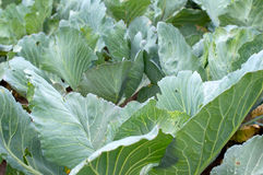 Ripenings of green cabbage Royalty Free Stock Photography