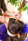 Ripiantamento delle piante domestiche fotografia stock
