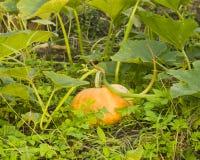 riping在杂草的地面的大橙黄南瓜在日落,选择聚焦,浅DOF 库存图片