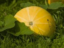 riping在杂草,选择聚焦,浅DOF的地面的大晴朗的黄色南瓜 免版税图库摄影