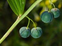Riping berries of polygonatum odoratum, angular Solomon`s seal, macro, selective focus Stock Image