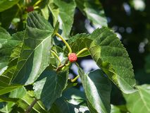 Riping black mulberry or Morus nigra hiding in leaves on tree close-up, selective focus, shallow DOF Stock Photography