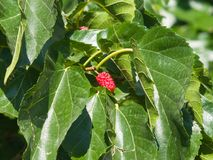 Riping black mulberry or Morus nigra hiding in leaves on tree close-up, selective focus, shallow DOF Royalty Free Stock Photo