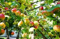 Riping-crabapple Früchte auf einem Baumast stockbild