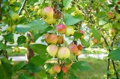 Riping-crabapple Früchte auf einem Baumast stockfotos