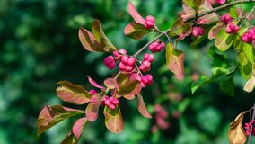 Riping fruit on European or common spindle, Euonymus europaeus, close-up with bokeh, selective focus, shallow DOF.  stock photography