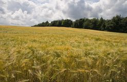 Riping grain on field in summer Stock Photography