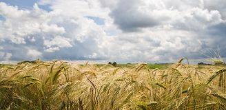 Riping grain on the fields in summer sun Stock Photos