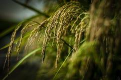 Riping Padi. Padi grain riping in Sekinchan, Selangor, ready for harvesting Stock Photography