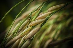 Riping Padi. Padi grain riping in Sekinchan, Selangor, ready for harvesting Stock Photos