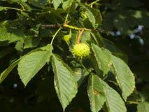 Riping-Samen auf Niederlassung der Rosskastanie, Aesculus hippocastanum, Baum mit Blattnahaufnahme, selektiver Fokus, flacher DOF Lizenzfreies Stockbild