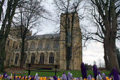Ripon Cathedral. Amazing and wonderful Ripon Cathedral amid blooming crocuses royalty free stock image