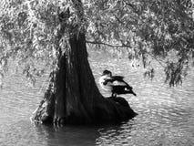 Riposando sotto la quercia di acqua Immagine Stock