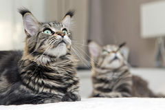 Riposarsi del gatto di due Maine Coon Fotografia Stock