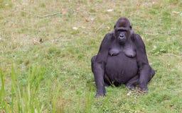 Riposo adulto della gorilla Fotografia Stock