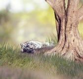 Riposo bianco della tigre Fotografia Stock