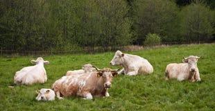 Riposo bianco delle mucche Fotografie Stock