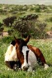 Riposo cileno selvaggio del cavallo fotografia stock