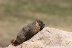 Riposo codardo della marmotta Fotografia Stock Libera da Diritti