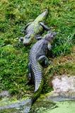 Riposo degli alligatori Immagine Stock Libera da Diritti
