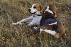 Riposo dei cani del cane da lepre. Fotografia Stock