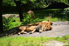 Riposo dei leoni Fotografia Stock Libera da Diritti