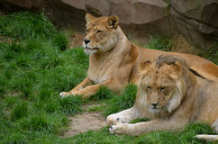 Riposo dei leoni Fotografia Stock