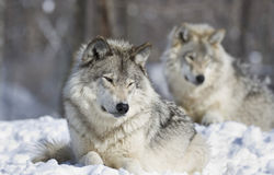 Riposo dei lupi Immagini Stock