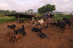 Riposo del bestiame Immagine Stock Libera da Diritti