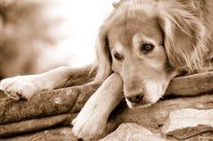 Riposo del cane del documentalista dorato Fotografia Stock Libera da Diritti