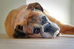 Riposo del cane del pugile Fotografie Stock Libere da Diritti