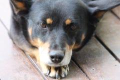 Riposo del cane di Kelpie Fotografia Stock Libera da Diritti