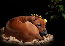 Riposo del cane di Rhodesian Ridgeback Fotografie Stock