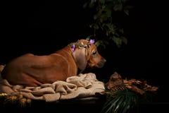 Riposo del cane di Rhodesian Ridgeback Immagine Stock