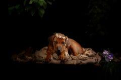 Riposo del cane di Rhodesian Ridgeback Fotografia Stock