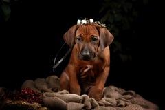Riposo del cane di Rhodesian Ridgeback Fotografie Stock Libere da Diritti